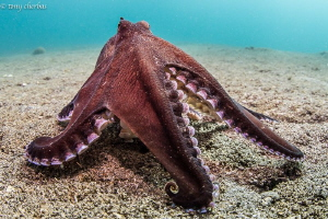 A small Coconut Octopus trying to look big for the camera :) by Tony Cherbas