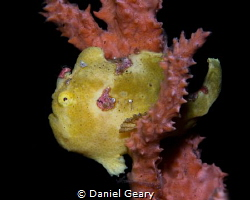painted frogfish - dauin, philippines by Daniel Geary