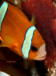 Clown fish guarding her eggs. by Marylin Batt