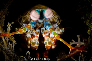Mantis shrimp by Leena Roy