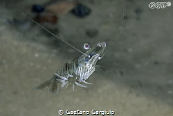 swimming up for a meal... attracted by my lights the shri... by Gaetano Gargiulo