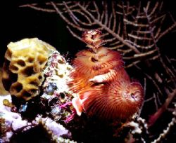 UNBELIEVABLE! Spriabranchus; New Ireland, Papua New Guine... by Rick Tegeler