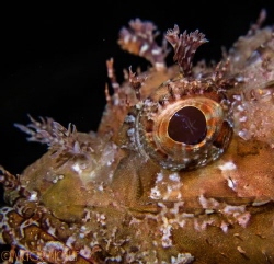 Scorpion Fish by Victor Micallef