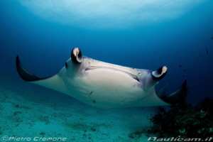 Face to face with a Manta ray by Pietro Cremone