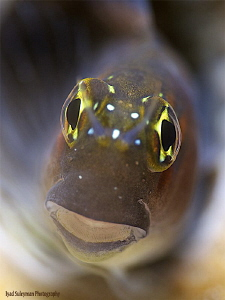 Gulf Blenny Taken with 60mm macro lens and Moby 3.8 by Iyad Suleyman