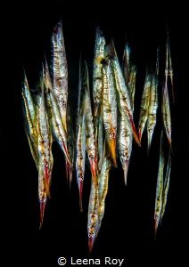 Razor fish rain by Leena Roy