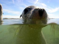Seal-Too close for Comfort Abrohlos islanda West Australi... by Joshua Miles