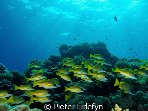 group of snappers under a beautiful sunshine... by Pieter Firlefyn