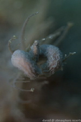 Hairy Frogfish Lure - Dauin, Philippines by Daniel Geary