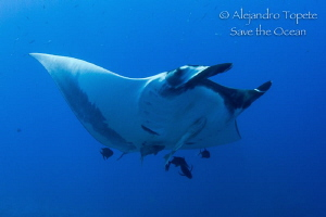 Mantaray, Socorro Island Mexico by Alejandro Topete
