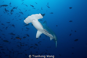 MURDEROUS LOOK When the Tiger Shark swam around and clos... by Tianhong Wang