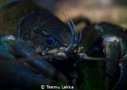 """Current"" crayfish Pacifastacus leniusculus by Teemu Lakka"