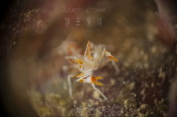 a tiny tiger shrimp 8mm shot using RRM by Joseph Crowe