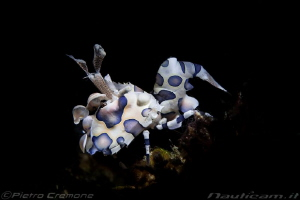 harlequin crab snooted by Pietro Cremone