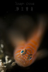psychadelic goby by Joseph Crowe