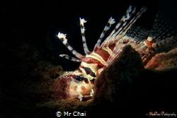 Lionfish (Dendrochirus zebra) Sulug island sabah malaysi... by Mr Chai