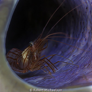 Peppermint Shrimp in a purple tube sponge by Robert Michaelson