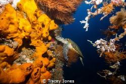 Hawksbill turtle inside the U.S.A.T Liberty Wreck by Tracey Jones