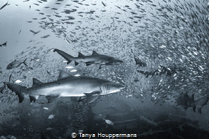 'Rush Hour on the Atlas' - Sand tiger sharks swim though ... by Tanya Houppermans