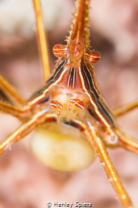 Golden Ball  Yellowline Arrow Crab with eggs by Henley Spiers