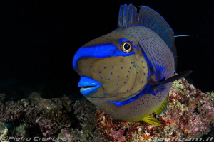 Blue tang by Pietro Cremone