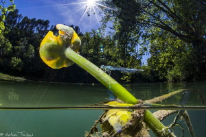 Southern Damselfly laying eggs by Mathieu Foulquié