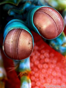 Mantis shrimp with eggs by Iyad Suleyman