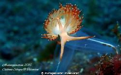 A Sakuraelois Nungunoides on a blue turnicate at Seraya P... by Arulnageswaran Aruleswaran