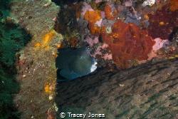 Bumphead Parrotfish Hiding by Tracey Jones