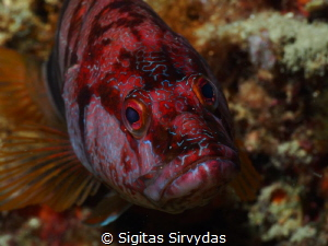 Grouper portrait by Sigitas Sirvydas