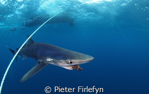 Blue shark / close encounter (8mm lens) by Pieter Firlefyn