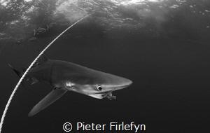 Blue shark / Close encounter (8mm lens) by Pieter Firlefyn