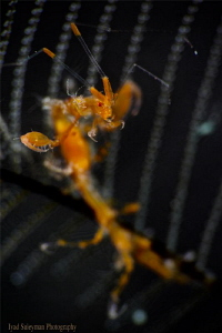 Skeleton Shrimp by Iyad Suleyman