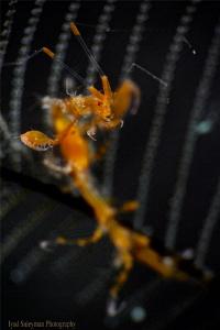 Skeleton Shrimp by Iyad Suleyman