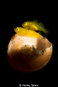 Pregnant Pygmy Yellow Goby & Partner by Henley Spiers