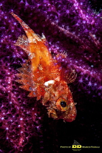 Young mediterranean scorpionfish (Scorpaena scrofa) on th... by Marco Faimali (ismar-Cnr)