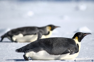 Ready to race? (Emperor penguins on the sea ice) by Marco Faimali (ismar-Cnr)