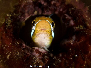 Blenny in a bottle by Leena Roy