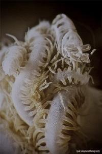 Xenia shrimp by Iyad Suleyman