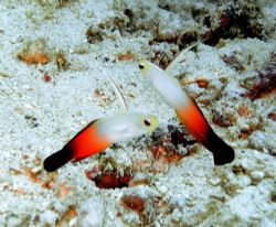 A pair of fire gobies, difficult to photograph as they te... by Alex Lim