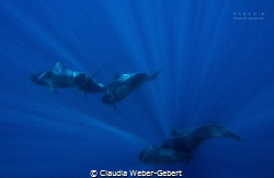 light and motion - the pilot whales of Teneriffe Island -... by Claudia Weber-Gebert