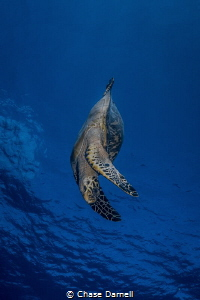 """""""Going Down"""" A Hawksbill Turtle decends towards the reef. by Chase Darnell"""