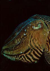 Cuttlefish portrait. Devon. 60mm. by Mark Thomas