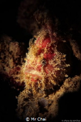 A frogfish that waiting for his prey Ocellated Frogfish ... by Mr Chai