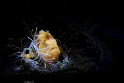 Tangle Location :Lembeh Indonesias Canon 5dsr Canon EF... by Yung Sen Wu