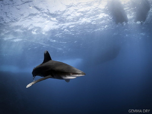 Oceanic Whitetip, taken at Big Brother, Red Sea, Egypt. ... by Gemma Dry