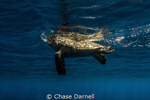 """""""Take a Breath"""" A Hawksbill Turtle starts a breath up to... by Chase Darnell"""