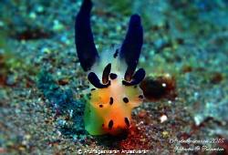 Pikachu Thecacera - super small sized, less than 5mm, pos... by Arulnageswaran Aruleswaran