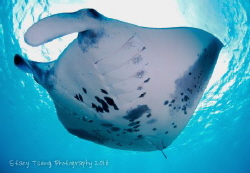 Reef manta at the cleaning station. Taken at Baa Atoll, M... by Stacy Tseng