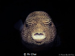 Hiding from the dark~ Guineafowl Puffer Fish (Arothron m... by Mr Chai